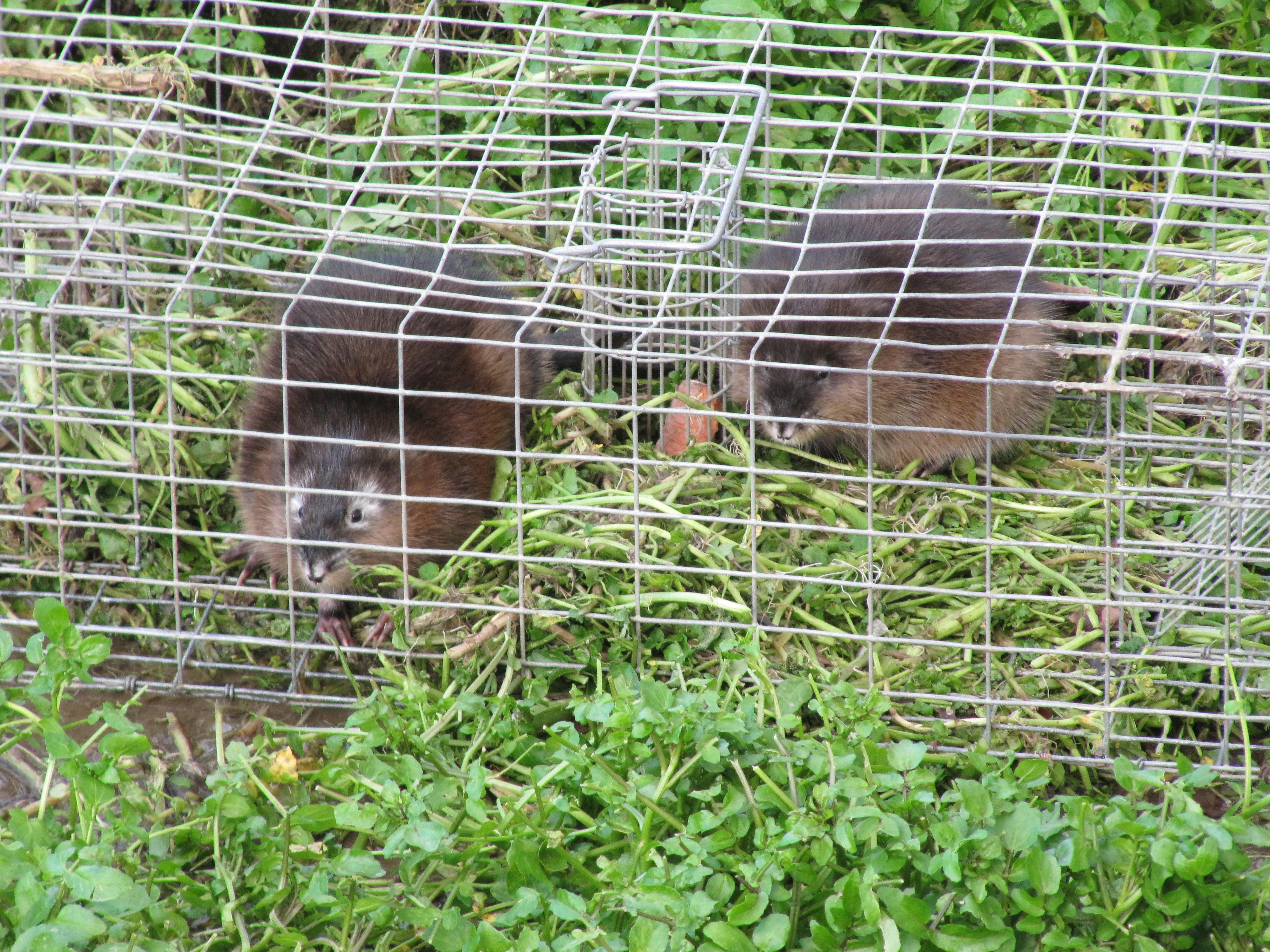 Piégeage de rats musqué en cage piège
